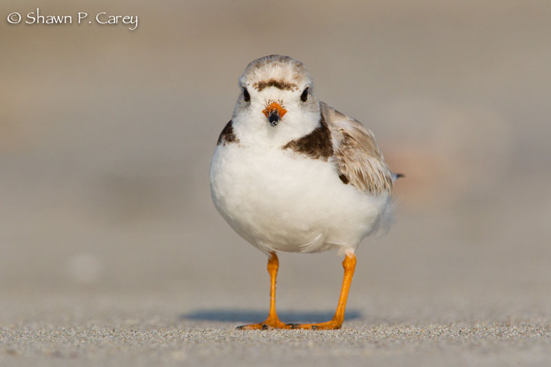 Shawn Carey Photo Of Plover