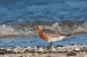 Shawn Carey Photo Of Red Knot