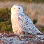 Snowy Owl, West Dennis Beach by Peter Bono