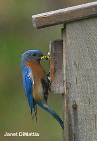 Bluebird by Janet DiMattia