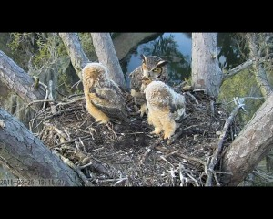 Great Horned Owlets in Savannah, GA